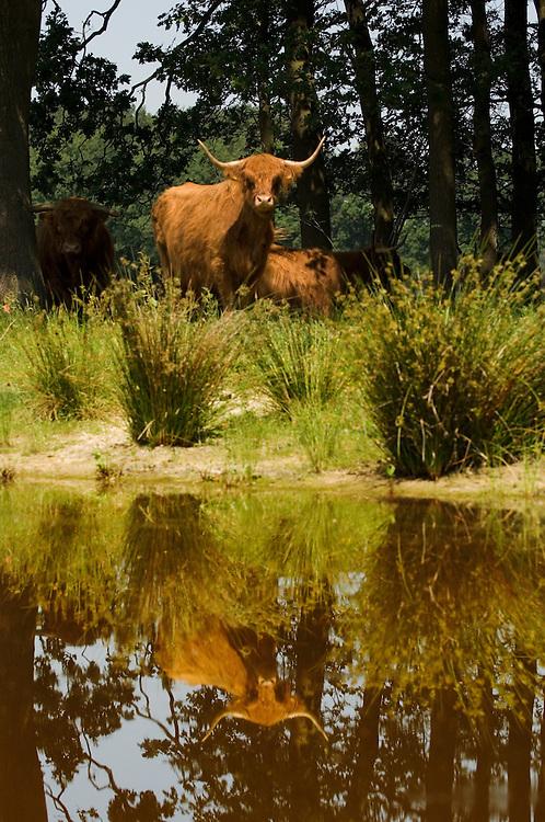 Nederland, omgeving Wijster, 10 juni 2007.Natuurontwikkeling. Nieuw natuurgebied wat wordt begraasd door Schotse Hooglanders. Deze grote grazers zorgen dat het gebied niet dichtgroeid met bomen. De runderen lopen in de zomer graag door water. voorheen was dit landbouwgebied, nu een nieuw natuurgebied, mede om verdroging te voorkomen.... Foto (c) Michiel Wijnbergh.