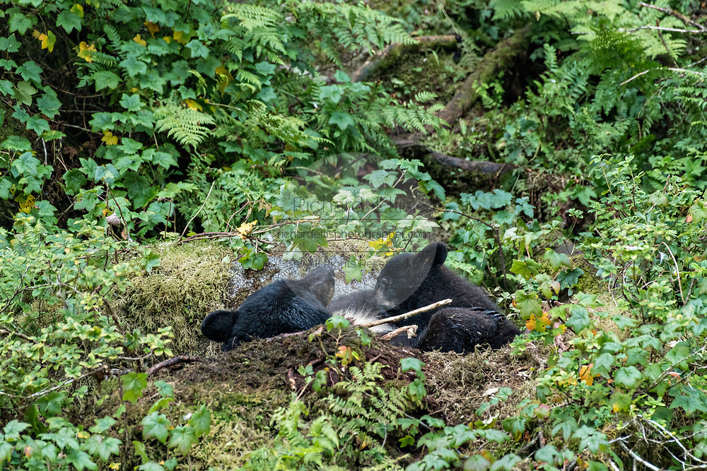 An adult American black bear sow breast feeds her cub in the temperate rain forest at Anan Creek in the Tongass National Forest, Alaska. Anan Creek is one of the most prolific salmon runs in Alaska and dozens of black and brown bears gather yearly to feast on the spawning salmon.