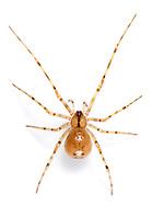 Nesticus cellulanus - Female. A cave spider found in wet, shady habitats.