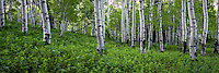 Lush green plants cover the forst floor along the Alpine Loop in the Uinta National Forest.