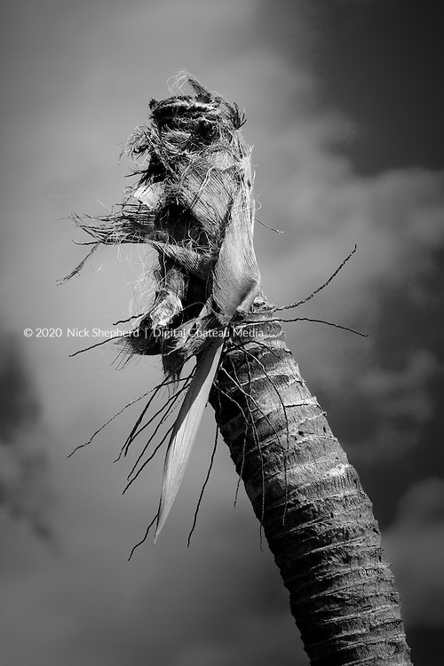 Dead palm tree stump in black and white.