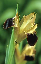 Hermodactylus tuberosus syn. H. tuberosa - Widow iris