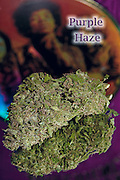 Purple Haze nug photo shot in a professional photography studio.