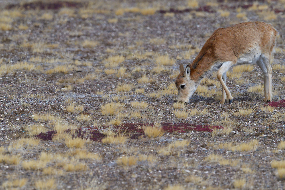 Tibetan antelope or Chiru (Pantholops hodgsonii) grazing at Keke Xili, Changtang, Tibetan Plateau, Qinghai, China