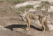 Lone Jackal, Serengeti National Park is a region of grasslands and woodlands in United Republic of Tanzania