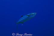 cero mackerel,<br /> Scomberomorus regalis,<br /> Cayman Islands ( Caribbean Sea )