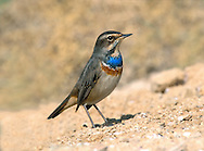 Bluethroat Luscinia svecica L 13-14cm. Robin-sized bird that feeds on ground. Unobtrusive but obvious when seen well. Red sides to base of tail are diagnostic. Sexes are dissimilar. Adult male has mainly grey-brown upperparts and whitish underparts, with white supercilium and iridescent blue throat and breast, bordered below by bands of black, white and red; typically, blue 'throat' has white or red central spot depending on race. Blue colour masked by pale feather fringes in autumn. In other plumages Blue on throat is obscured by pale feather margins, or replaced by cream or white, depending on individual's sex and age. Voice Utters a sharp tchick call. Status Scarce passage migrant.