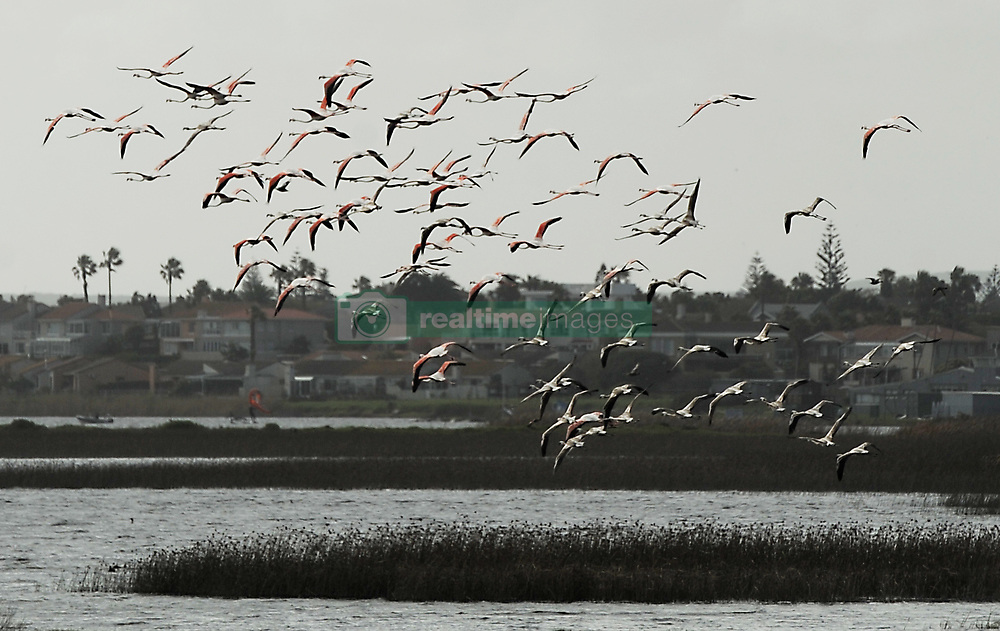 South Africa - Cape Town - 11 August 2020 - Milnerton lagoon, which is part of the Diep River estuary, was so polluted that recreationalwater sport had to stop. Towards the end of the Cape winter Greater Flamingos return to the wetlands in the inner city. Cape Town is recognized globally for its extraordinarily rich, diverse and unique fauna and flora. Nowhere else in the world does an area of such rich bio-diversity exist almost entirely within a metropolitan area. Photographer: Armand Hough/African News Agency(ANA)