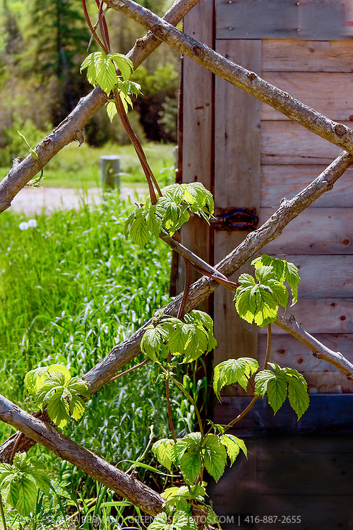 Stout tree branch prunings joined to form a trellis for hops vines.