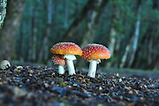 toadstools, Photographed in South Island, New Zealand