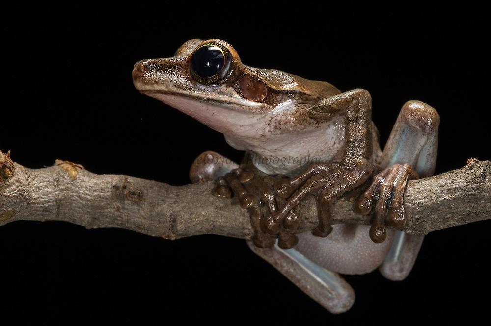 Slender-legged tree frog (Osteocephalus planiceps)<br /> ECUADOR, South America<br /> IUCN STATUS: <br /> RANGE: Ecuador, Colombia, Peru<br /> Sub-tropical moist lowland rain forest<br /> Captive