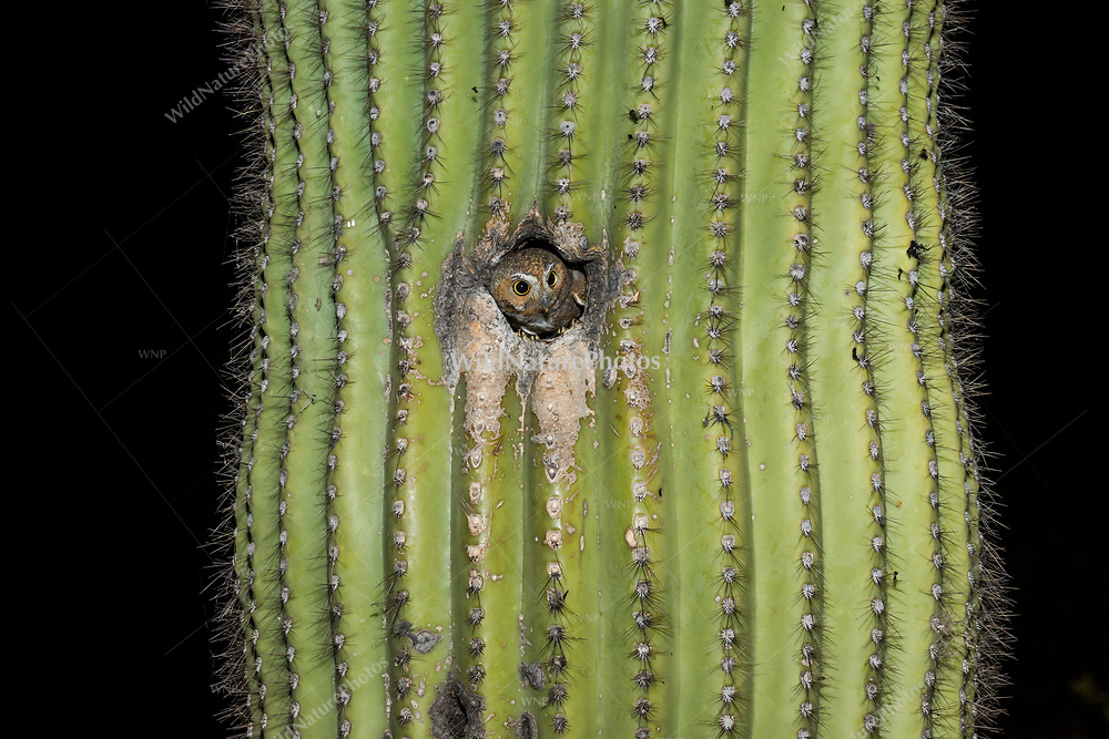 A Elf Owl (Micrathene whitneyi) looks out from her nest, about to fly off to hunt. (Tucson, Arizona)