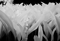 Infrared in the spring garden.  Lilies of the Valley.  ©2017 Karen Bobotas Photographer