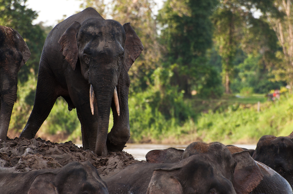 A bull Borneo Pygmy Elephant (Elephas maximus borneensis) joins the rest of his herd in the Kinabatangan River, near the village of Bilit, Sabah, Malaysian Borneo