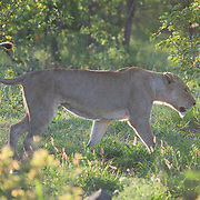 Lioness in summer. Skukuza. Kruger National Park. South Africa. Organization for Tropical Studies Trip 2009.