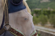 Horse in field with a fly mask, a gauze eye protection against the flies on 31st August 2017 in Lagrasse, France. Horse flies feed on blood and can inflict a nasty bite, especially dangerous around the animals eyes.