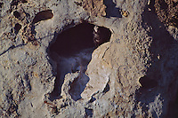 A California Condor chick at the entrance to its cave nest.  One of the first condor chicks born in the wild after reintroduction of adults to the wild.