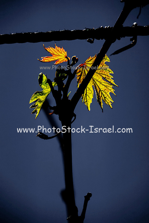 New growth of vine leaves
