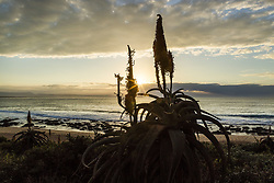 July 13, 2017 - The Aloe is synonymous with a sunrise at Jeffreys Bay...Corona Open J-Bay, Eastern Cape, South Africa - 13 Jul 2017. (Credit Image: © Rex Shutterstock via ZUMA Press)