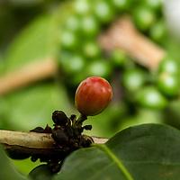 Ripe coffee bean, Kona, Hawaii.