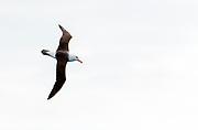 Black-browed Albatross (Thalassarche melanophris) from the Drake Passage