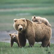 Alaska Brown Bear (Ursus middendorffi) mother and her two cubs. Alaskan Peninsula