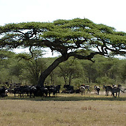 During migration in Serengeti National Park, more than 200,000 zebras migrate along side one million wildebeest and 300,000 Thomson's gazelles. Tanzania. Africa. February.