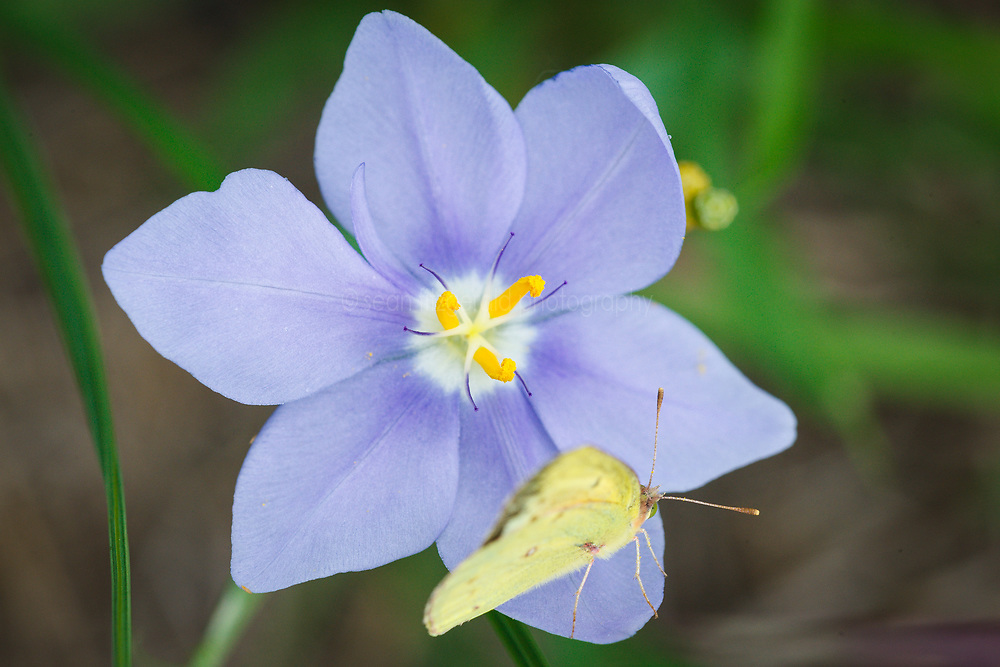 Sulphur butterfly on prairie celestials wildflowers, Cedar Hill State Park, Texas, USA.