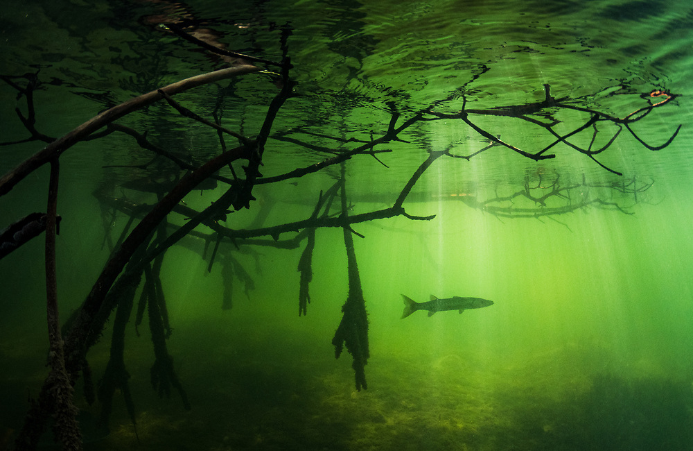 A young great barracuda (Sphyraena barracuda) waits in ambush for small fish in the mangroves. Image made in The Bahamas.