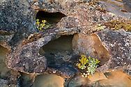 Broad Leaved Stonecrop (Sedum spathulifolium) growing on sandstone ledges in Biggs Park near Nanaimo, British Columbia, Canada