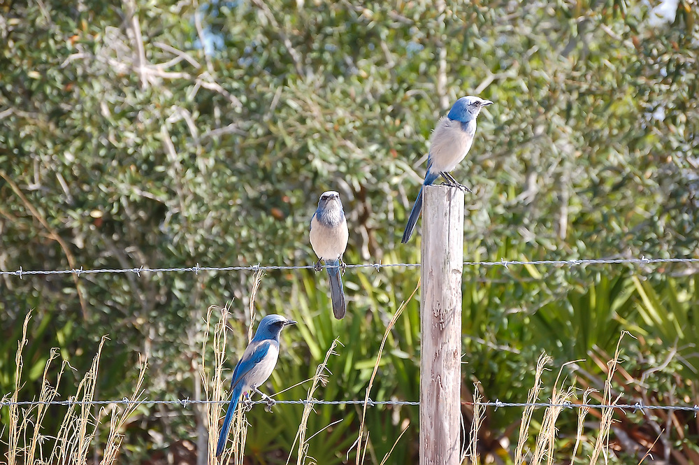 A trio of scrub jays on a barbed wire fence. Losing habitat due to development, they are estimated to have declined by as much as 90% during the 20th century.