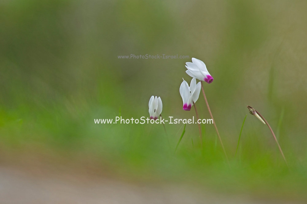 Persian Violets (Cyclamen persicum), Photographed in Israel in January