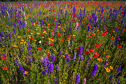 North Carolina Wildflowers bloom in a purple and fire-red profusion of complementary colors. A white Cabbage butterfly flits from flower to flower, feeding and pollinating in turn.