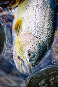 Searun cutthroat trout close up.