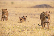 Two lionesses (Panthera Leo) waiting in the grass with cubs moving toward the rest of their pride, Savuti, Botswana