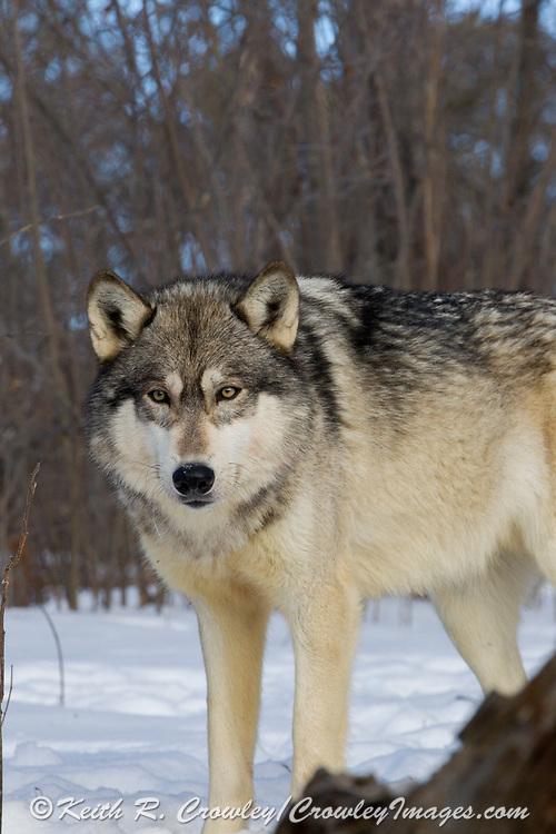 Gray wolf (Canis lupus) in winter habitat.
