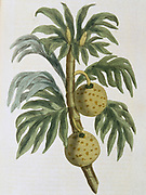 Breadfuit: Artocarpus incisus.  Tree with fruit with white pulp like new bread, introduced into West Indies as important food crop for plantation slaves. Captain Bligh of HMS 'Bounty' fame was given task of transporting stock plants from the South Sea Islands. From 'Nature Displayed' by Simeon Shaw. (London, 1823). Hand coloured engraving.