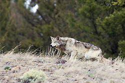 Yellowstone Wolf #820 of the Lamar Pack in the Lamar Valley of Yellowstone National Park