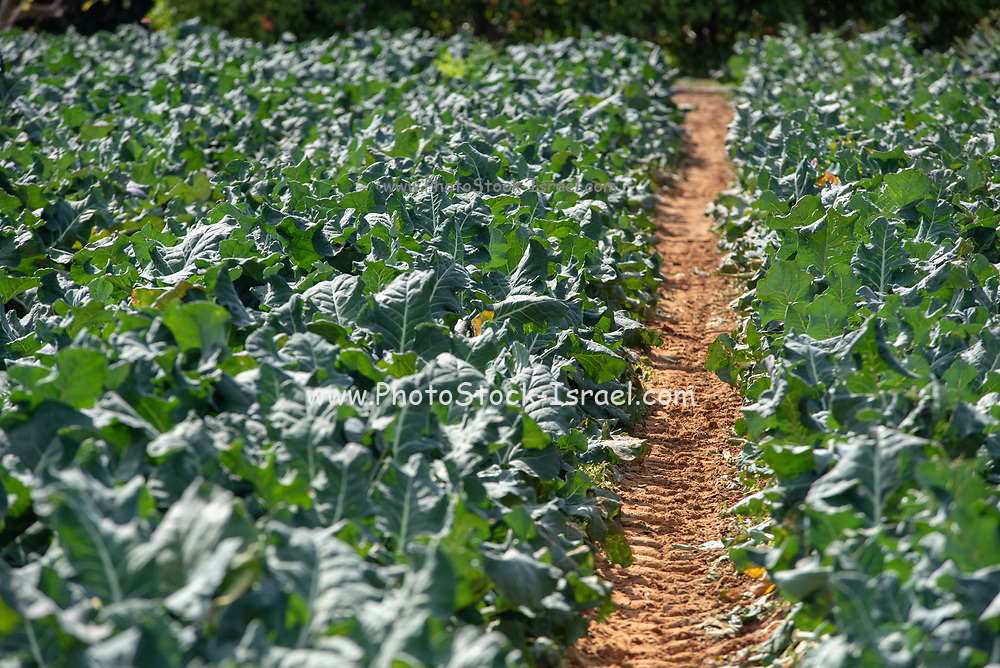 broccoli (Brassica oleracea) plants grow in an Agricultural field. Photographed in Israel in spring, April