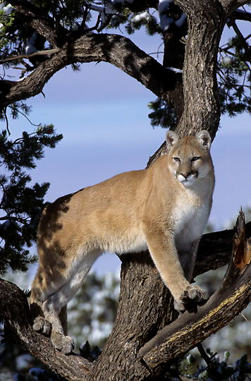 Mountain Lion or Cougar, (Felis concolor) In tree. Utah. Captive Animal.