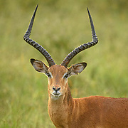 The impala raised its head and stared right at me. He pricked forward both his ears and looked intently, finally deciding I was not a threat and went back to feeding on grass in Nairobi National Park.