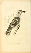 Laughing kookaburra, Dacelo novaeguineae (Gigantic dacelo, Dacelo gigantea). from volume XIII (Aves) Part 2, of 'General Zoology or Systematic Natural History' by British naturalist George Shaw (1751-1813). Griffith, Mrs., engraver. Heath, Charles, 1785-1848, engraver. Stephens, James Francis, 1792-1853 Published in London in 1825 by G. Kearsley