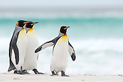 Beim Start zum Beutezug sowie bei ihrer Rückkehr vom Meer zur Brutkolonie sieht man, dass sich die Königspinguine (Aptenodytes patagonicus) in Gruppen zusammenfinden. Auf diese Weise werden sicherlich die Chancen erhöht, unbeschadet an ihren im Wasser lauernden Feinden wie Seelöwen und Schwertwalen vorbeizukommen. | Starting to and returning from their foraging trips the king penguins (Aptenodytes patagonicus) often gather in groups. This habit potentially lowers the risk of being caught by their aquatic predators, e.g. the sea lion and the orca.
