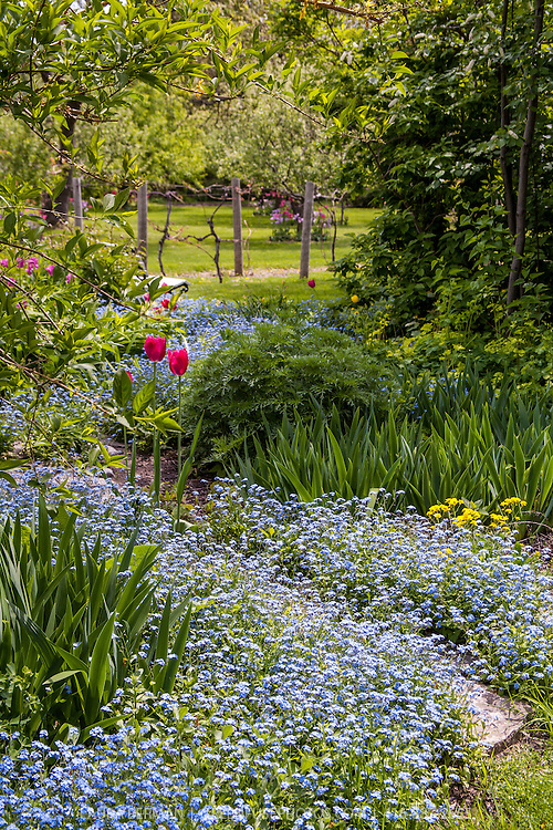 Forget-me-nots carpet this spring garden and orchard at Spadina House in Toronto, Canada