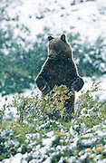 Alaska . Ursus Arctos . Denali National Park . Grizzly bear in snowy tundra, standing on its hind legs .