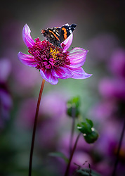 Red Admiral butterfly on Dahlia 'Blue Bayou'