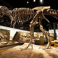 Canada, Alberta, Drumheller, Dinosaur fossils from Dinosaur Provincial Park on display at Royal Tyrrell Museum