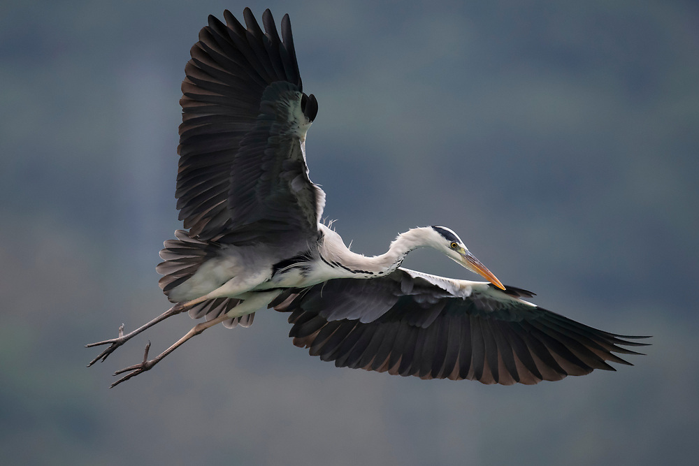 Grey heron, Ardea cinerea, Bi Tan Bay, Taiwan