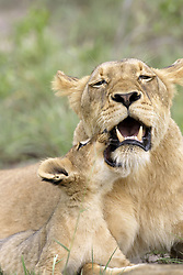 July 6, 2015 - African Lions, lioness with cub, Sabie Sand Game Reserve, South Africa  (Credit Image: © Tuns/DPA/ZUMA Wire)