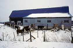 Barn With Cows